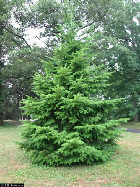 buy christmas tree cuttings douglas fir propagation horticulture 202 2015