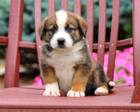 bernard puppies for sale craigslist bernese mt st bernard mix pups craigspets