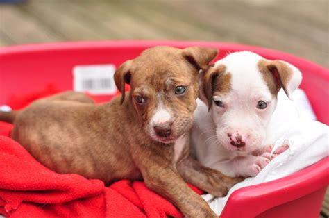 6 week pitbull puppies 6 week pit bull puppies