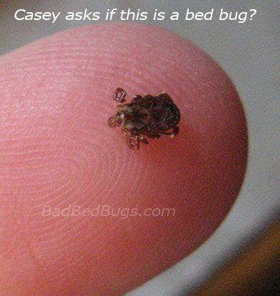 how many legs does a bed bug have