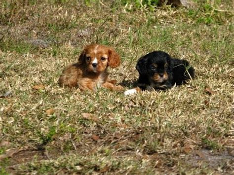 puppies for sale in el paso tx king county