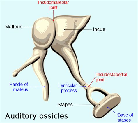 6 Auditory Bones by File Auditory Ossicles En Svg Wikimedia Commons