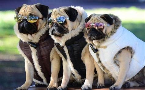 why are pugs so pugpugpug when and why did owning pugs become so trendy