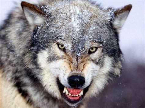 wolf s all about wolfs thinglink
