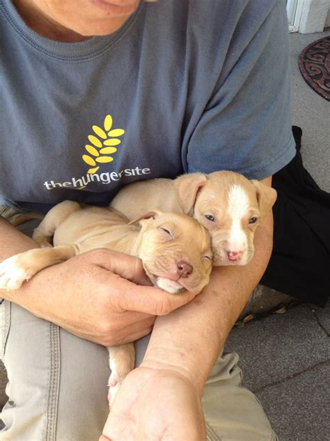 2 week pitbull puppies my parents are fostering two 5 week pitbull puppies does that look like the