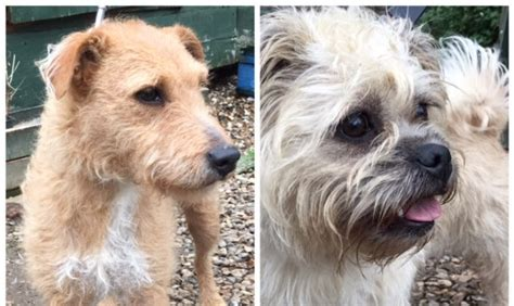pug cross patterdale terrier poppy and 3 year lakeland terrier cross patterdale terrier and 2