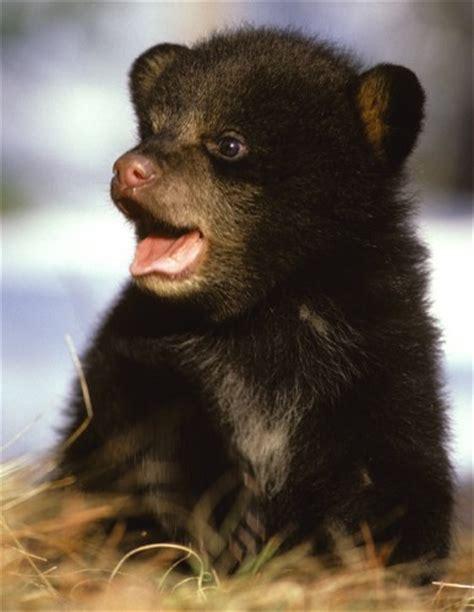 rare black bear quints baby animal zoo