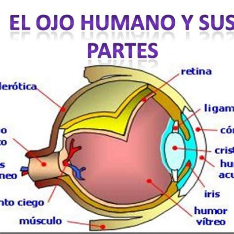 imagenes de ojos humanos y sus partes la funci 211 n de relaci 211 n los sentidos pictoeduca