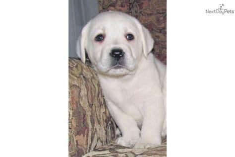 white polar lab puppies white labrador retriever puppy breeders and white lab puppies breeders breeds