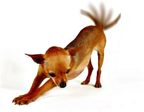 imagenes de animales en movimiento el movimiento de la cola en los perros razas de perros