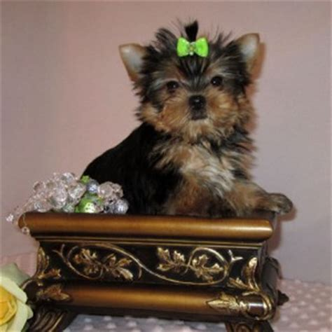 yorkie babies for free dogs fort smith ar free classified ads