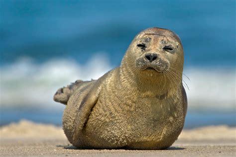 Seehund ((Phoca vitulina ) (Forum für Naturfotografen) Seehund