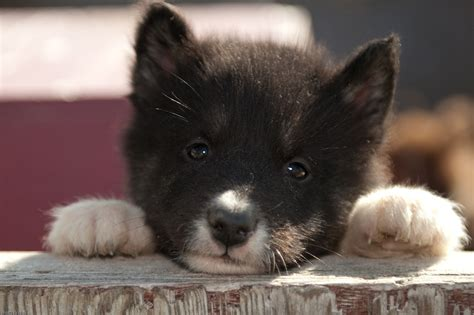 canadian eskimo canadian eskimo puppies www imgkid the image kid has it