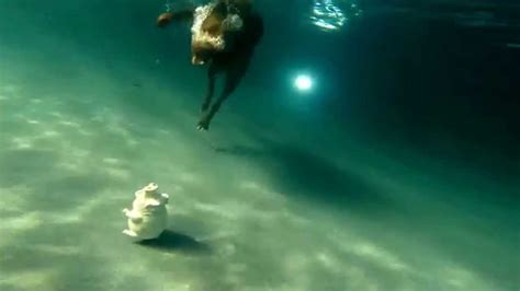 chocolate swimming pool chocolate labrador retriever dives underwater in
