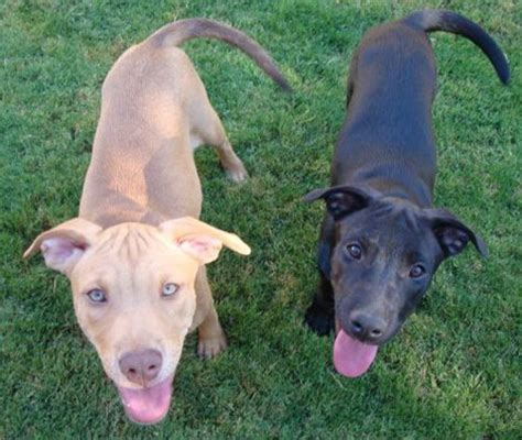 german shepherd and pitbull mix puppies adopt a