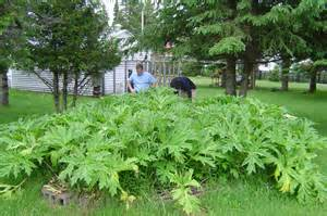 Backyard Gardens Illegal Toxic Hogweed State Looking For Giant Poisonous Plants