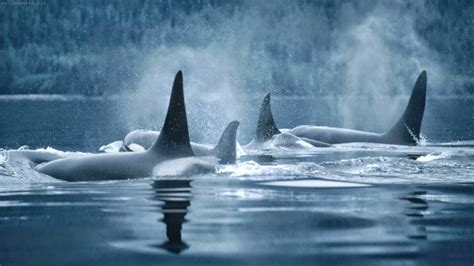 killer whale collection killer whale wallpaper 1600 x 900 killer whale wallpaper
