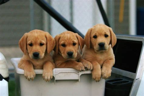 yellow lab puppies like yellow lab puppies well here are 7