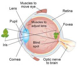 why do we a blind spot in each eye how do we see light asu ask a biologist