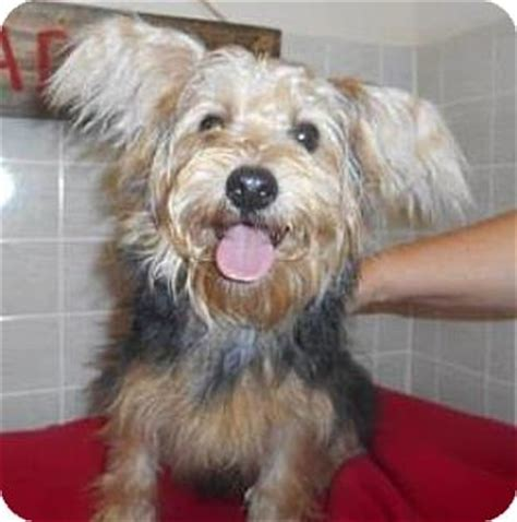 yorkie rescue in pa bartonsville pa yorkie terrier mix meet reece a puppy for adoption