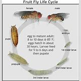 Fruit Fly Life Cycle Stages | 476 x 504 jpeg 40kB