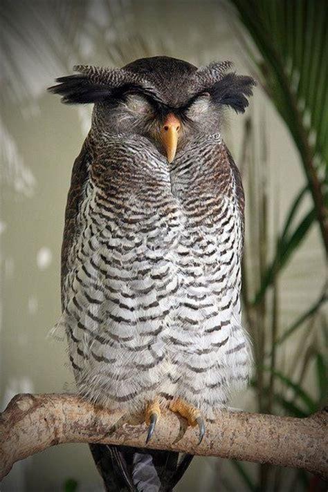 amazing wildlife owl photo owls photos owls