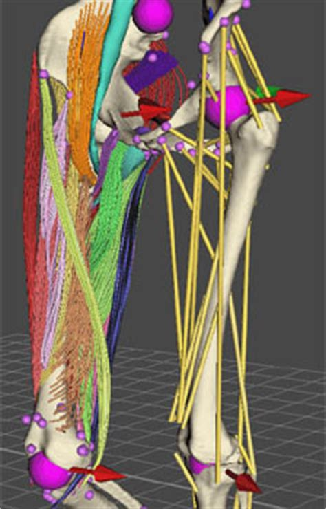 bone adaptation in silico approach frontiers of biomechanics books the human musculoskeletal system created using computer