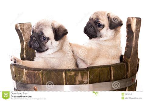 pug purebred pug purebred puppy stock photos image 18254743