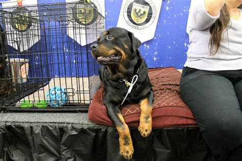 rottweiler competition izzy the rottweiler competes for show chionship richmond confidential