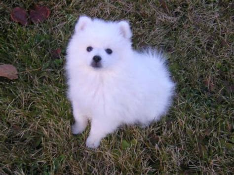 teacup american eskimo puppies for sale puppiesjpg breeds picture