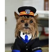 Pics Photos  De Perros Yorkie Yorkshire Terrier Caracteristicas