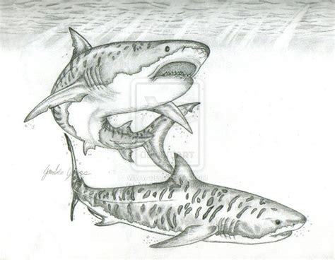 tiger shark tattoo designs 38 best tiger shark drawing images on