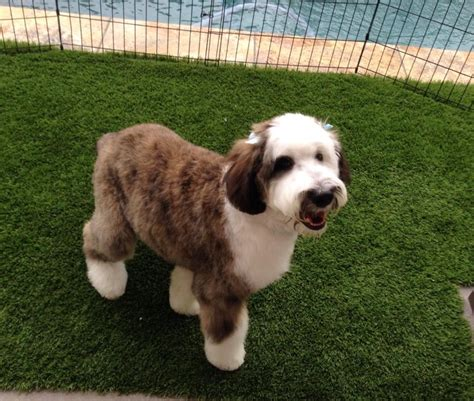 pictures of sheepadoodle 5 dog breeds picture