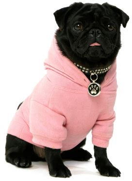 coats for pugs clothes and pugs