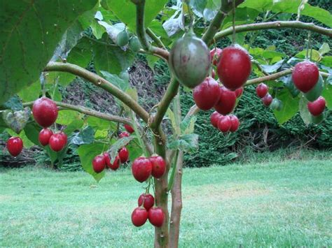 tomato tree cyphomandra betaceae tree tomato tamarillo tomarillo