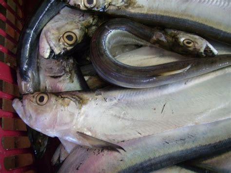 cara membuat otak otak sotong ikan parang pasar mentok wolf herring fish bukan sword fish