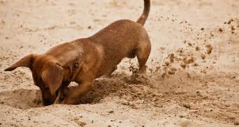 how can i get my dogs to stop digging cesar s way