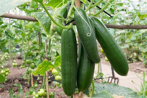 cucumber growing guide tui prepare plant nourish harvest