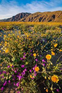 borrego bloom anza borrego desert state park wildflower super bloom