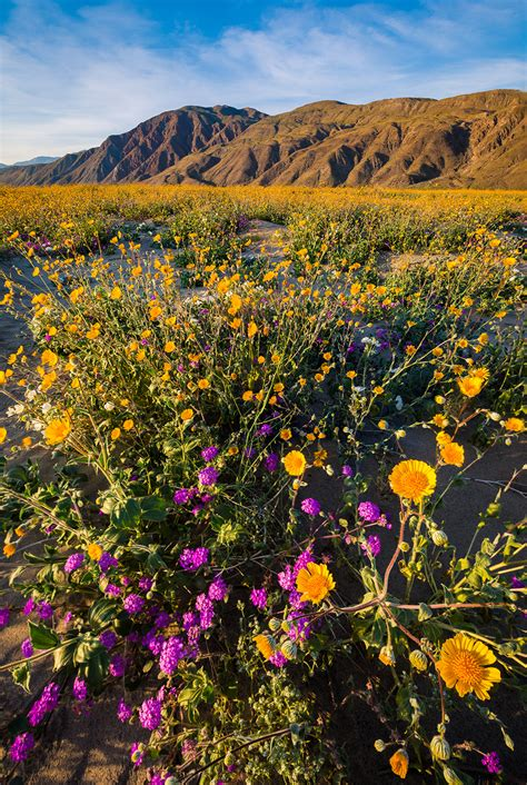 wildflowers anza borrego anza borrego desert state park wildflower super bloom