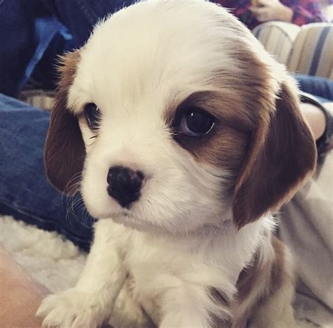 lil puppies 17 unbelievably tiny puppies