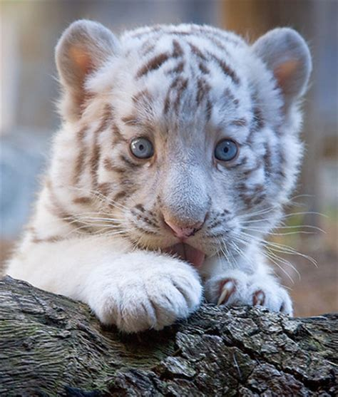 Baby White Tiger wallpapers hd wallpapers baby white tigers