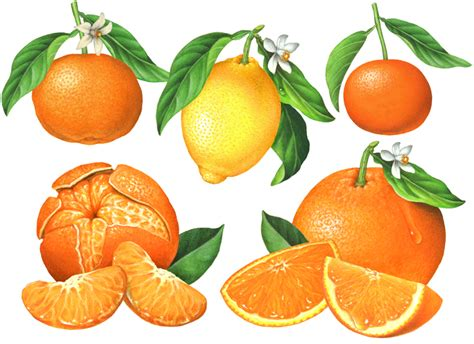 fruit usernames citrus fruit illustrations clementine mandarin lemon