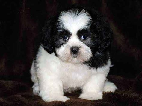 bichon and shih tzu mix bichon frise shih tzu mix puppies breeds picture