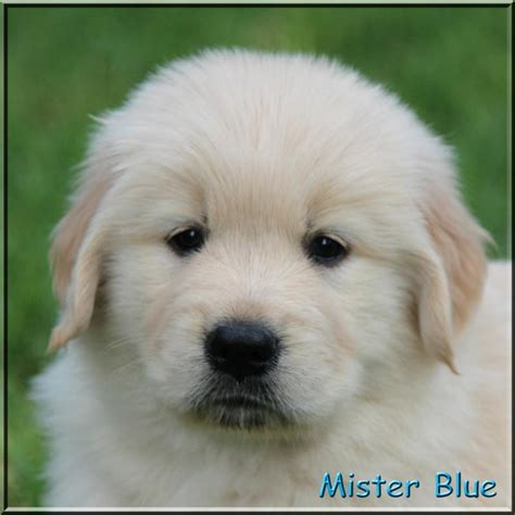 golden retriever puppies tn golden retriever kennel tennessee dogs our friends photo