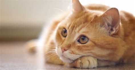Parfum Untuk Kucing unik jepang ciptakan parfum aroma dahi kucing kawaii