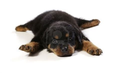 puppy rottweiler tips rottweiler puppy time to sleep rottweilers