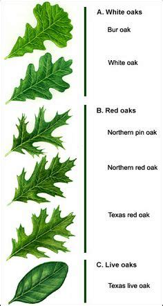 tree species guide oak tree leaves identification search oak hill