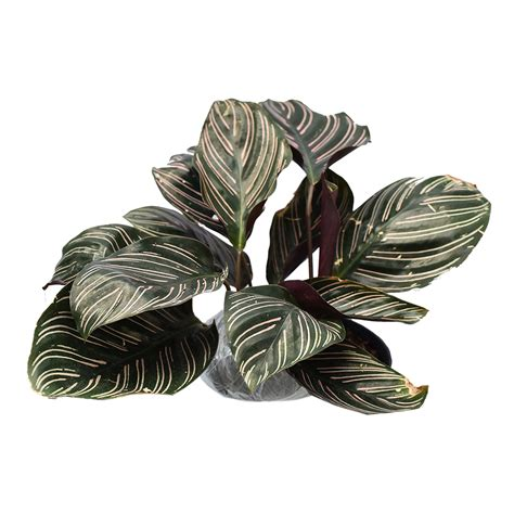 tanaman pinstripe calathea bibitbunga