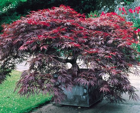 japanese seed how to grow japanese maples from seed the garden of eaden
